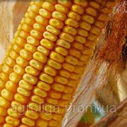 Насіння кукурудзи ДКС 3420 ФАО 280 фото