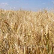 Насіння озима пшениця Шестопалівка 1р. фото