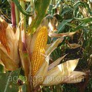 Насіння кукурудзи 3476 ФАО 260 фото
