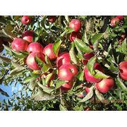 Продам Продаем оптом свежие овощи фрукты и Яблок фото