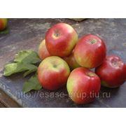 Яблоки свежие. фото