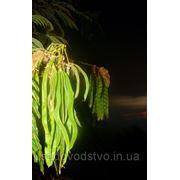 Семена морозостойкой альбиции ленкоранскойй фото
