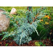 Можжевельник Чешуйчатый Мейери / Juniperus squamata Meyeri (саженцы, С-10, H 70) фото
