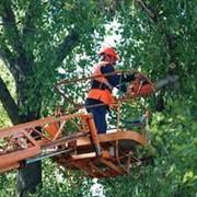 Валка деревьев, спил веток,кронирование. фото