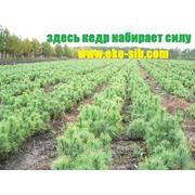 КЕДР СИБИРСКИЙ 35-45 см ЗКС фото