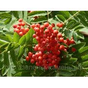Рябина обыкновенная (Sorbus aucuparia).Высота 1.5-2м,2-2.5м,2.5-3м. фото