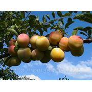Скороплодная (Абрикосовая) фото