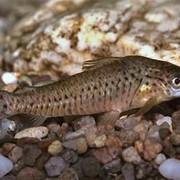 Рыба аквариумная Дианема - Diaпеmа longibarbis Соре фото