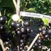 Саженцы смородина черная сорт Юбилейная копаня фото