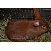 Кролики породы Новозеландский фото