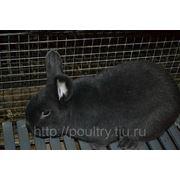 Кролик венский голубой фото