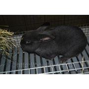 Кролики породы Венский голубой фото