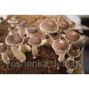 Грибные блоки,мицелий. фото