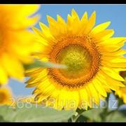 Подсолнечник Солнечный настрий фото