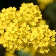 Семена цветов Алиссума Гмелина Горное Золото 0,2 г. желтый фото