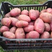 Картофель вид Астерикс 1 рс фото