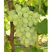 Саженцы плодового винограда из питомника. фото