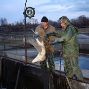 Sturgeon breeding in ponds фото