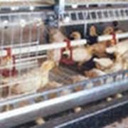 Оборудование для выращивания птицы мясных пород фото