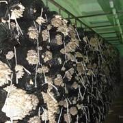 Вешенка грибы, создание грибных теплиц, продаж мицелия и грибных блоков фото