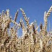 Культуры зерновые Черкасская область Украина фото