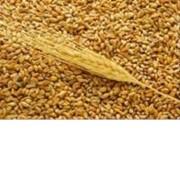 Пшеница продовольственная II класса фото