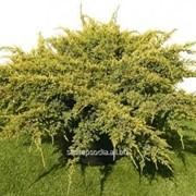 Можжевельник Juniperus squamata фото