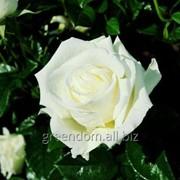Роза Мачо (Macho) фото