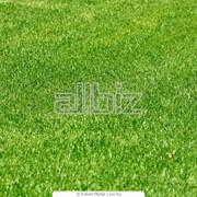 Луговой газон, семена для газонов фото