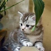 Кошки британской породы! фото