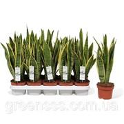 Сансевиерия трёхполосная Лауренти -- Sansevieria trifasciata Laurentii фото