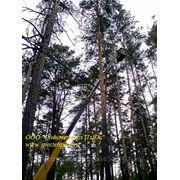 Профессиональная вырубка деревьев. Удаление пней. Вывоз. фото