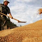Зерно, зерновые культуры из Казахстана, Костанай, ТОО Муган фото
