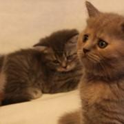 Кошки, котята британские короткошерстные, экзотические фото