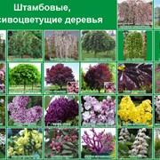 Штамбовые, красивоцветущие деревья фото