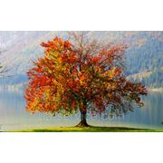 Валка деревьев Николаев фото