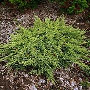 Можжевельник чешуйчатый Дрим Джой (Juniperus squamata Dream Joy) фото