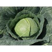 Семена капусты белокочанной, Сателит F1, производитель: Bejo, упаковка (2500сем) фото