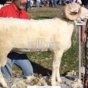 Стрижка овец фото