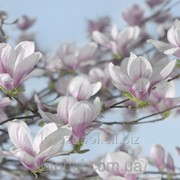 "Фотообои ""Magnolia"" 254х368 8-738 2000000404363 фото"