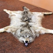 Шкура волка фото
