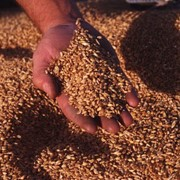 Оптом пшеница фото