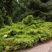 Можжевельник Juniperus x pfitzeriana Mordigan Gold фото