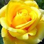 Роза чайногибридная Папилон. фото