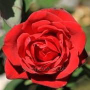 Роза Гранд Гала (Grand Gala) фото