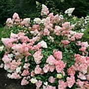 Гортензия метельчатая Ванилла Фрейз (Hydrangea paniculata VANILLE FRAISE 'Renhy' PBR) фото