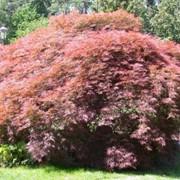 Клены Acer palmatum Garnet фото