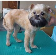 Зоосалон Лорд - стрижка собак - гриффон фото