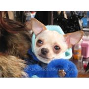 Продажа щенков, вязка, консультация. фото