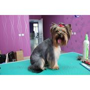 Стрижка собаки йоркширский терьер фото